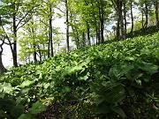 マルバダケブキとバイケイソウに覆われた急登のブナ坂を喘ぎながら檜洞丸へ-s