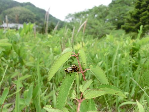 虫風景ヤツボシツツハムシ