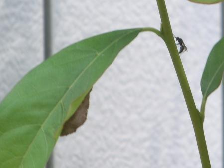 ヒメクモバチ2