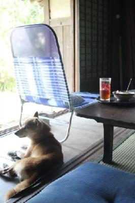 夏の古民家の柴犬
