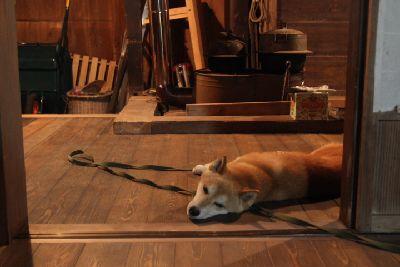 夏の囲炉裏端の柴犬
