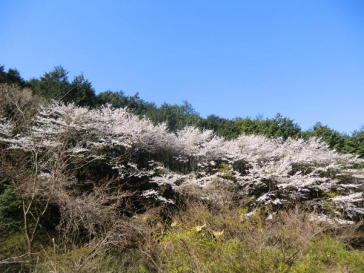 トンネル手前の桜