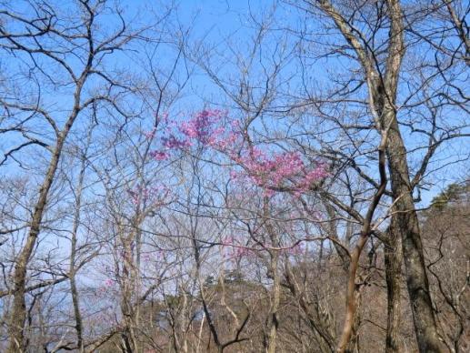 尾根に咲くアカヤシオ
