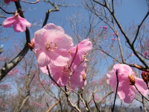 仁田山岳のアカヤシオ2