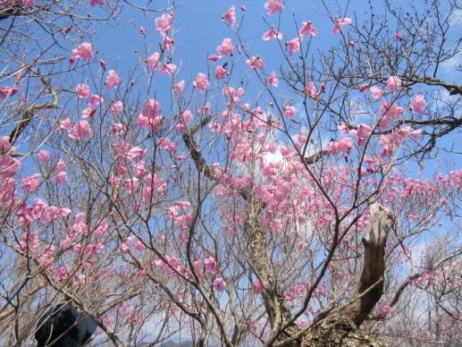 仁田山岳のアカヤシオ4