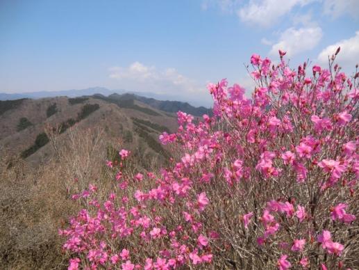 山頂を彩るアカヤシオ