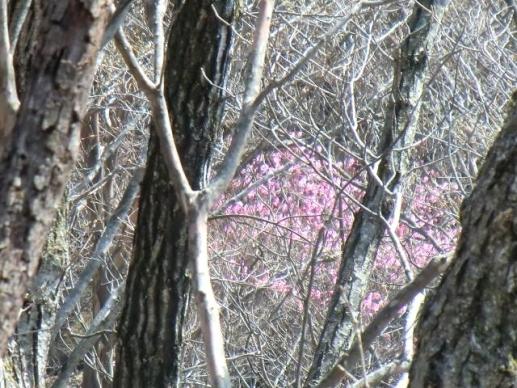 樹林に咲くアカヤシオ