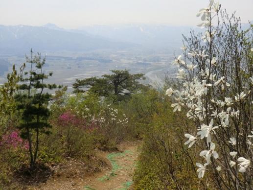 タムシバとユキグニミツバツツジ咲く道