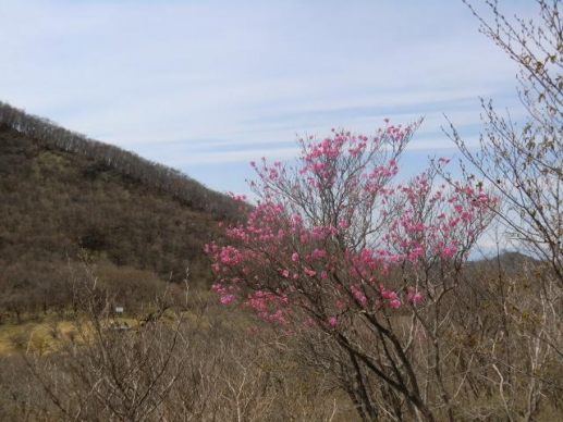 荒山高原に咲くアカヤシオ