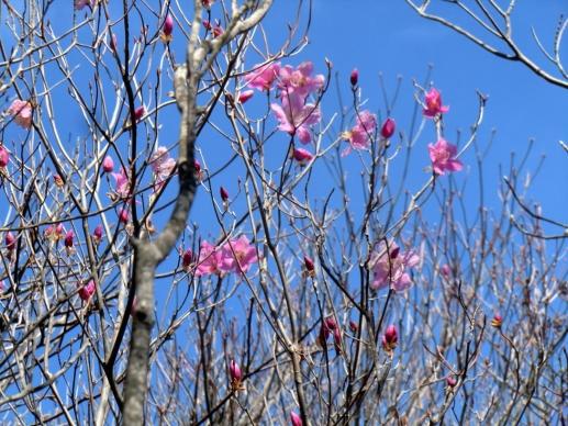 荒山南尾根に咲くアカヤシオ