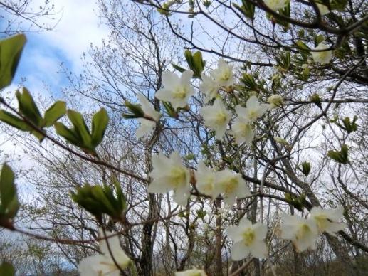 シロヤシオも咲き始めた