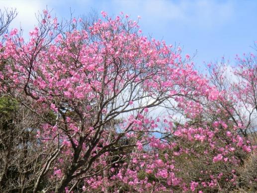 小丸山に咲くアカヤシオ