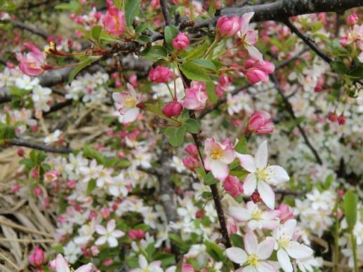 ズミの花とつぼみ