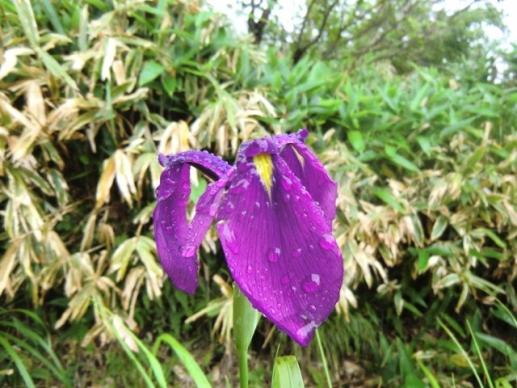 雨に濡れるノハナショウブ