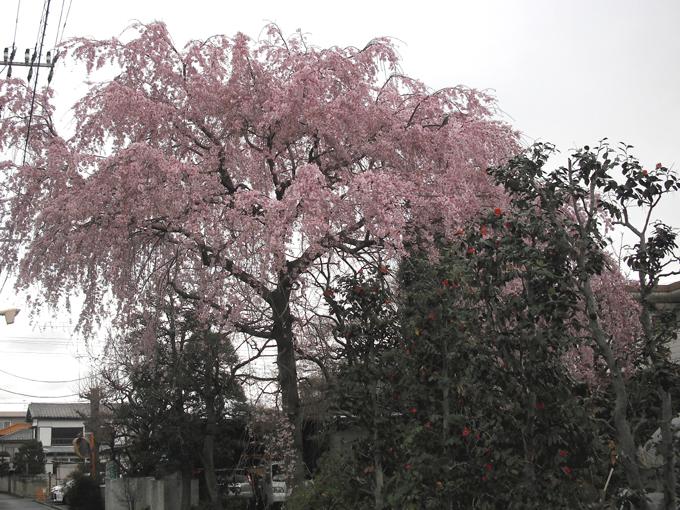 2003_ph01枝垂れ桜