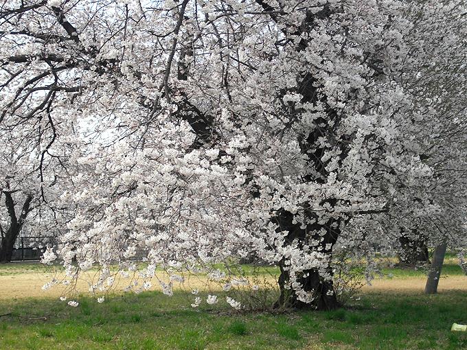 2003_ph04変電所桜昨年