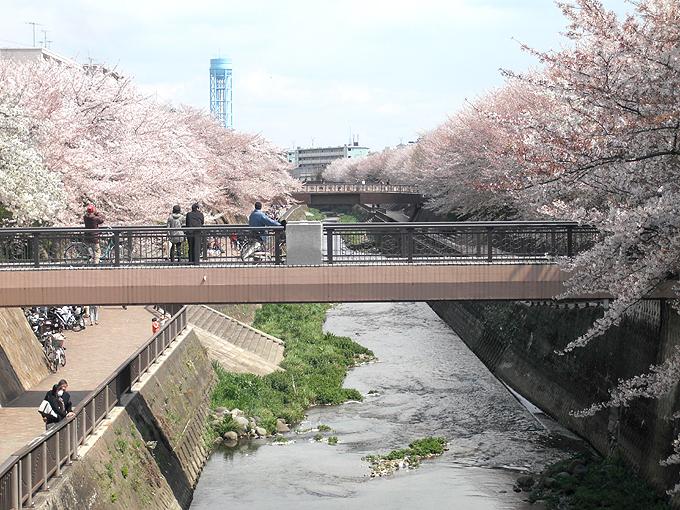2003_ph11石神井川桜01