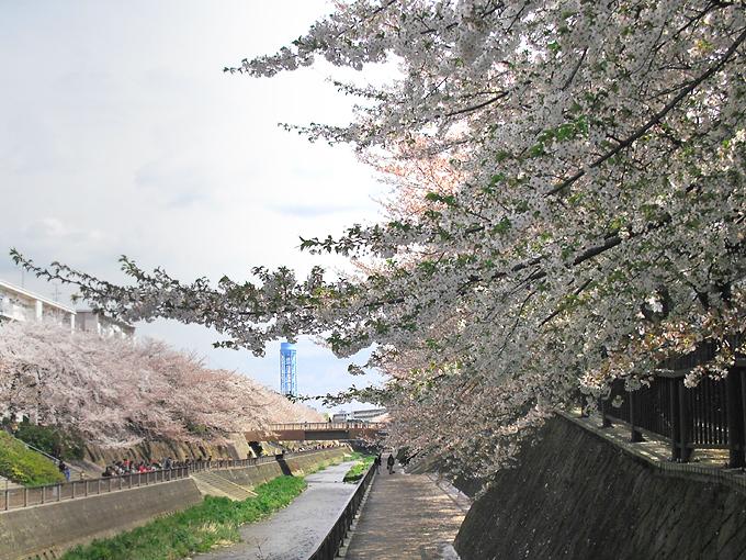 2003_ph13石神井川桜03