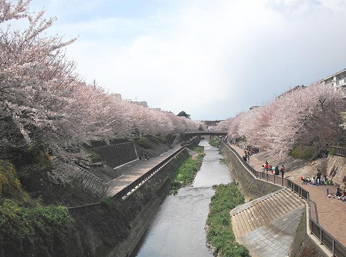 2003_ph15石神井川桜05