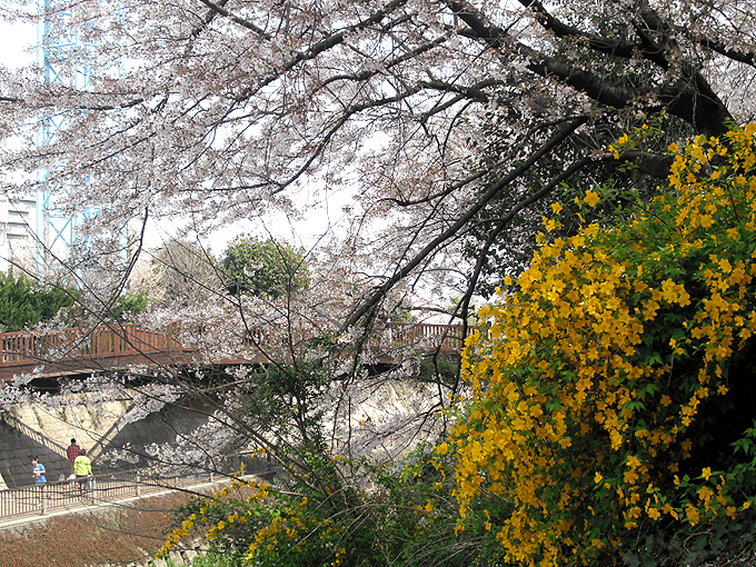 2003_ph16石神井川桜と山吹