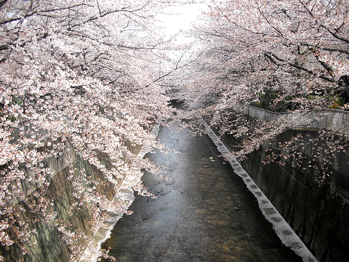 2003_ph19石神井川桜06