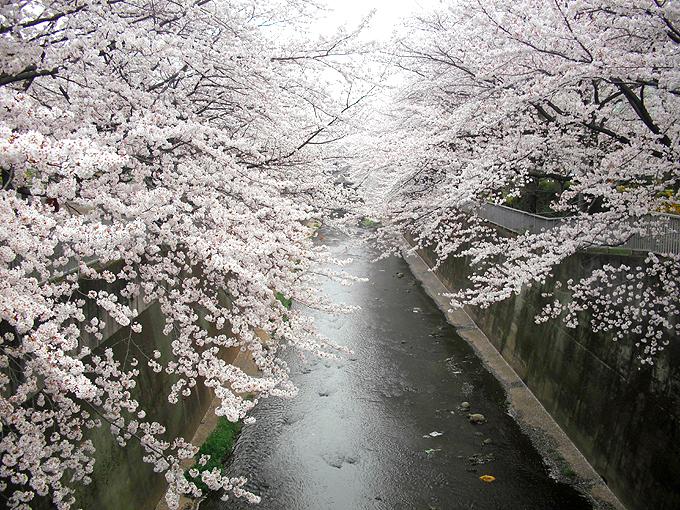 2003_ph20石神井川桜去年