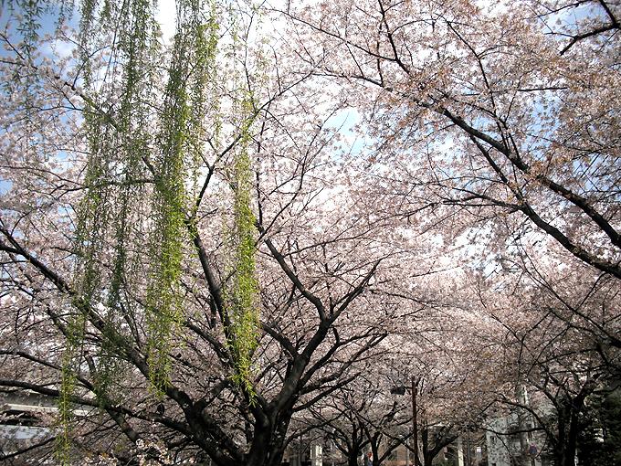 2003_ph21石神井川桜と柳新緑
