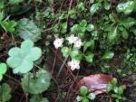 Androsace rotundifolia