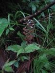 Crepidium acuminatum