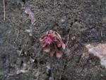 Drosera tokaiensis Manno