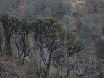 Euphorbia royleana