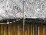 Merops ornatus