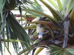 palm sap