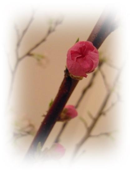 切り花・桃 (3)