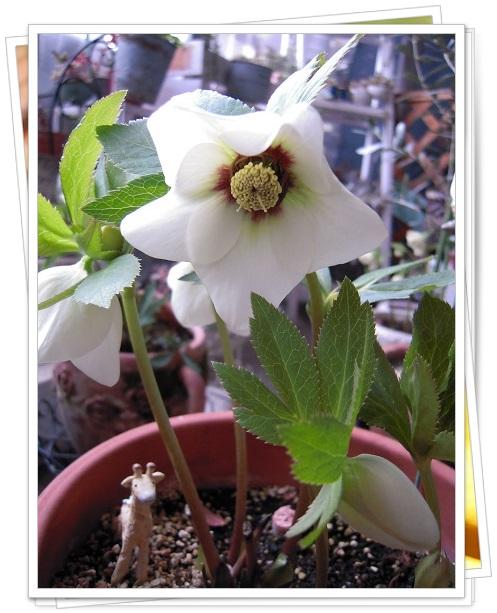 クリスマスローズ・ホワイトフラッシュ系(シングル咲き)開花 2014・2月28日