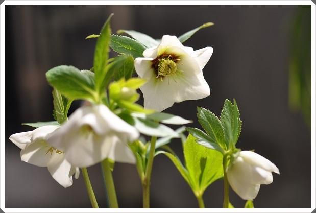 クリスマスローズ・ホワイトフラッシュ系(シングル咲き)開花 2014・3月4日