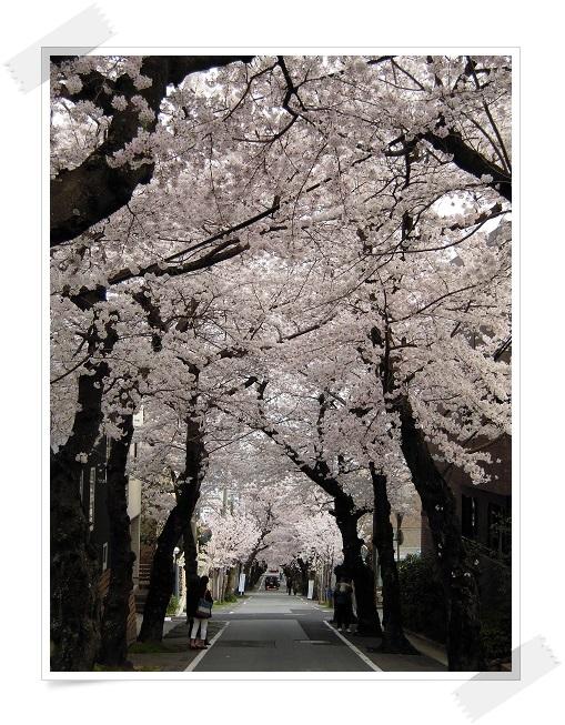 2014年・さくら(桜のトンネル) (3)