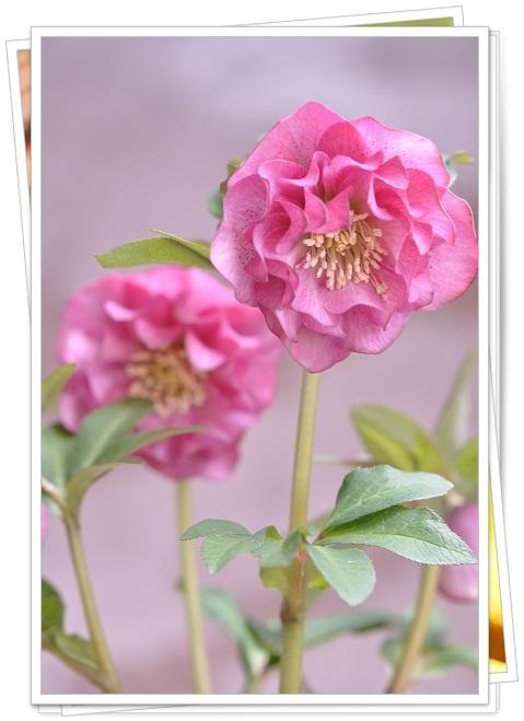 クリスマスローズ(ダブル咲き)ピンク 2014・3月22日
