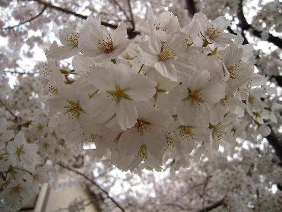 2014年・さくら(桜のトンネル) (5)
