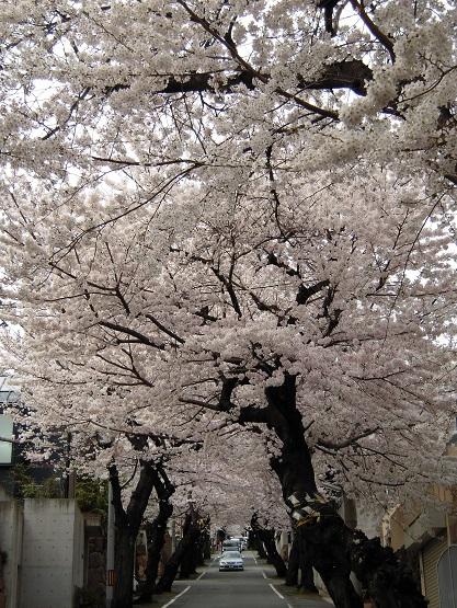 2014年・さくら(桜のトンネル) (6)