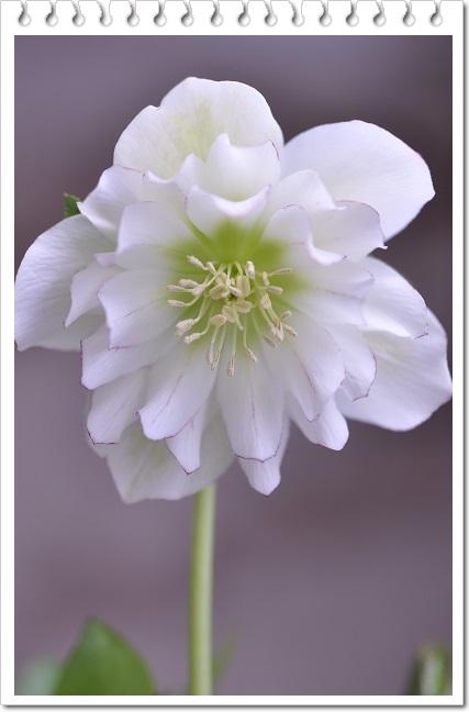 クリスマスローズ(糸ピコダブル咲き)ホワイト 2014・3月22日