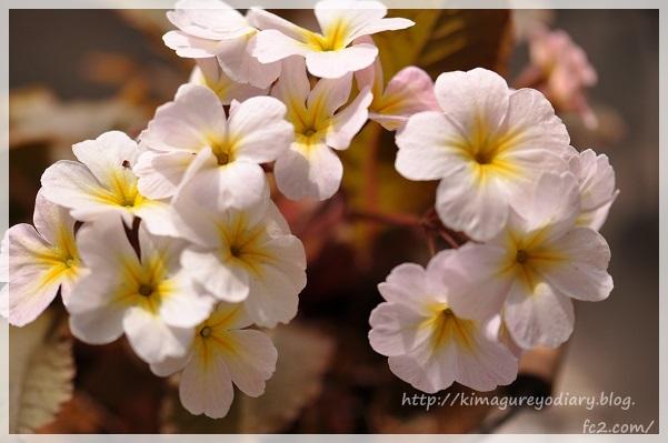 プリムラ・銅葉 2014・4月12日