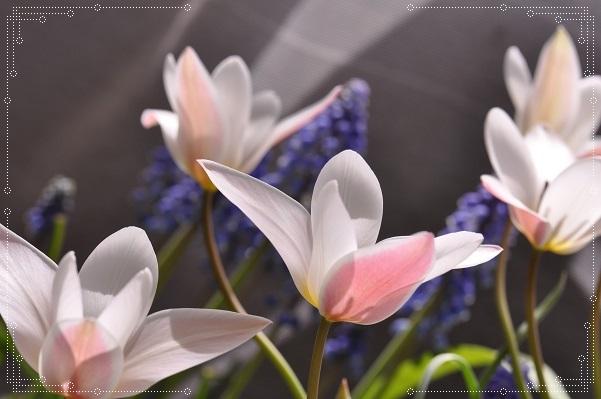 原種チューリップ・レディージェーン開花 2014・4月2日 (5)