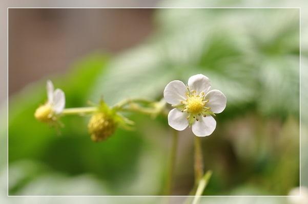 ワイルドストロベリー(花) 2014・4月12日 (2)
