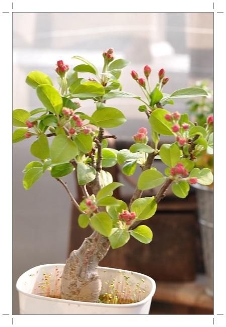 姫リンゴ・蕾 2014・4月8日