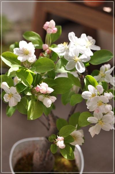 姫リンゴ開花 2014・4月14日