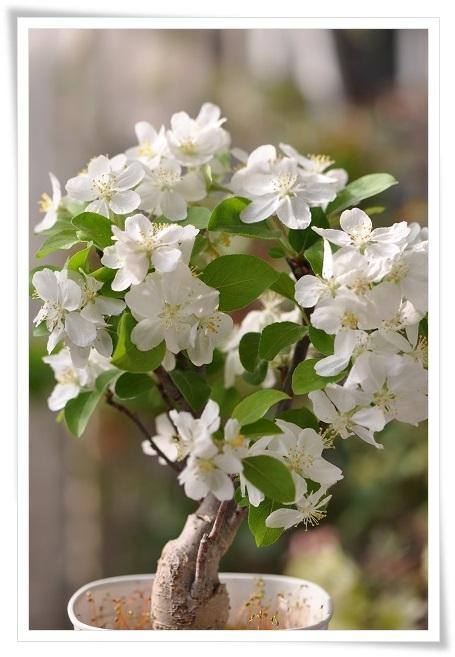 姫リンゴ開花 2014・4月17日