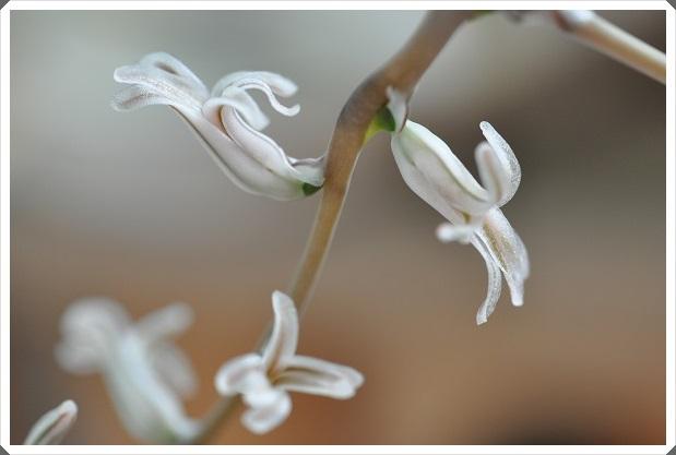 オブツーサ(雫石)のお花開花 2014・6月2日