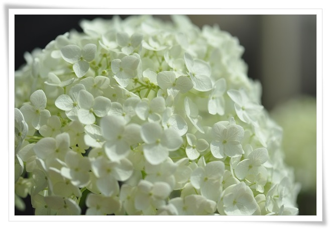 アナベル開花 2014・6月14日