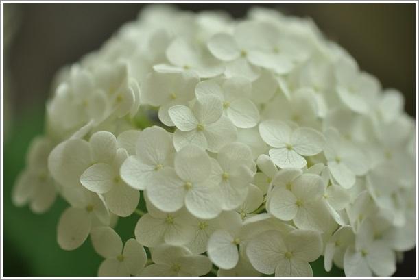 アナベル開花 2014・6月25日